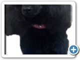 Poodle_Dog_Grooming